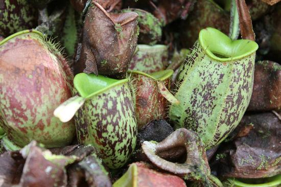 The Kebun: pitcher plants