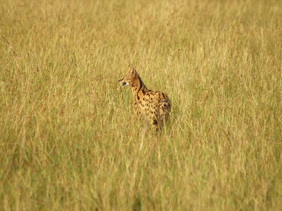 Royal Mara Safari Lodge: A rare sighting. A Serval cat. Amazing