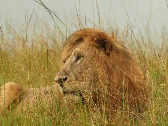 Royal Mara Safari Lodge: A very wet Male Lion.
