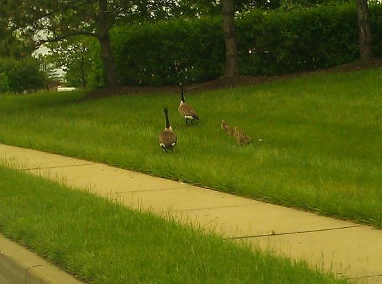 Hilton Garden Inn Baltimore / White Marsh: Ducks Crossing Road by hotel