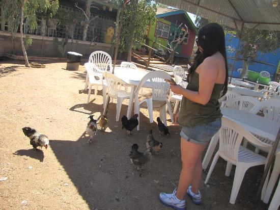 Picture Rocks Miniature Horse Ranch: Make sure you bring bread to feed the chickens and roosters