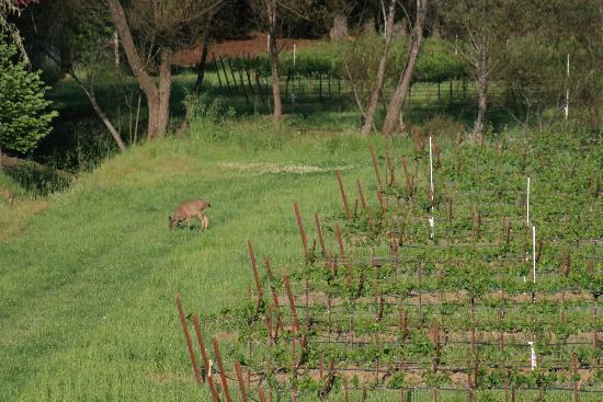 وست سونوما إن آند سبا: Deer grazing in the vineyard