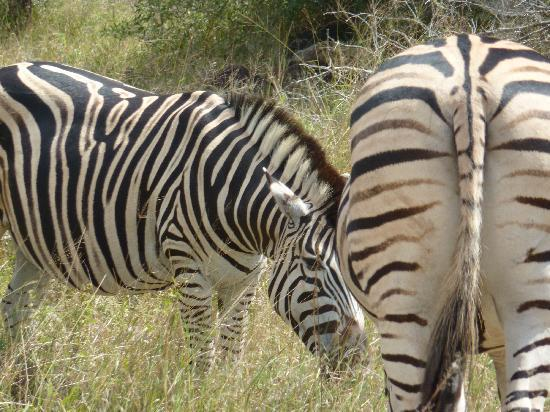 Toro Yaka Bush Lodge: zebras galore!
