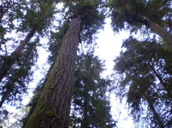 Cathedral Provincial Park: Trees