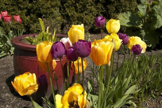 Evergreen Arboretum & Gardens: tulips