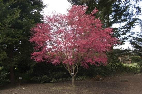 Evergreen Arboretum & Gardens: pink maple