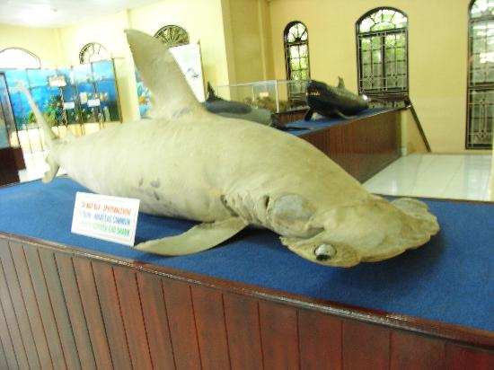 National Oceanographic Museum of Vietnam: Deflated shark.