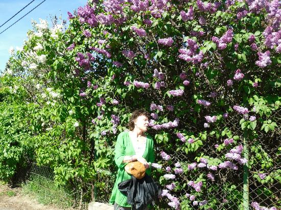 Hotel Pension Helios: Beautiful Lilac trees