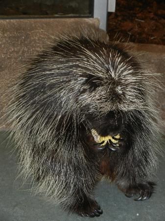 Science North : porcupine