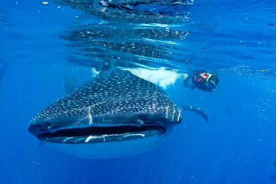 Ocean Tours: Snorkeling with the amazing Whalesharks