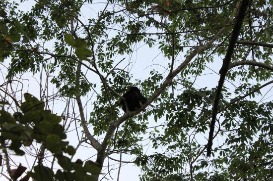 Agua Vista: Howler monkey