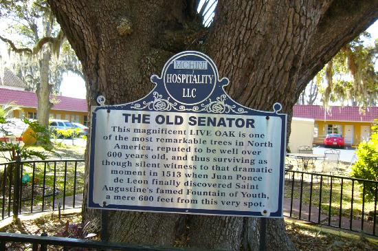 Howard Johnson Inn - Historic ST. Augustine FL: Historic oak tree in the hotel grounds