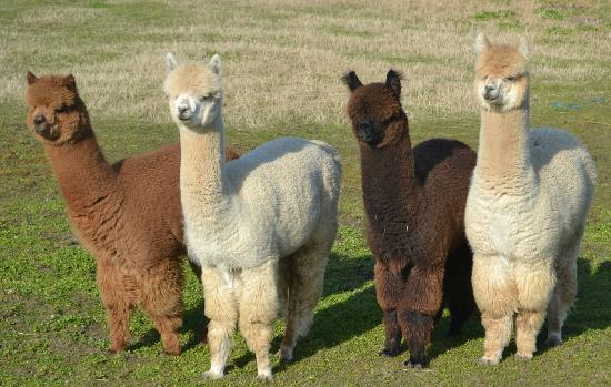 Quiet Haven Motel: Found these Alpacas on our walk.