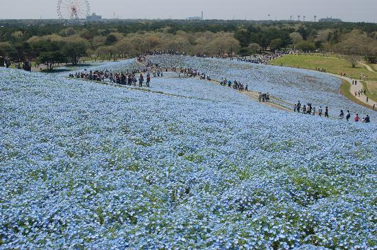 Hitachi Seaside Park : hitati
