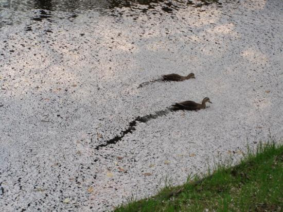 弘前公園(鷹揚公園), 桜の花びらの中を泳ぐカルガモたち