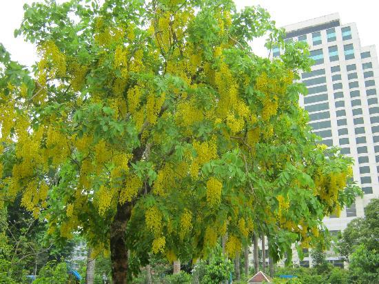 A beautiful yellow flowering tree picture of maha bandoola garden maha bandoola garden a beautiful yellow flowering tree mightylinksfo