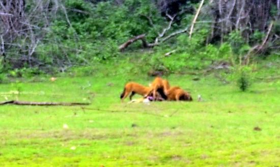 Kabini River Lodge: the wild dogs enjoying a fresh catch( it was a live hunt in front of us)