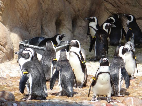 uShaka Sea World Aquarium: pingouin du Cap