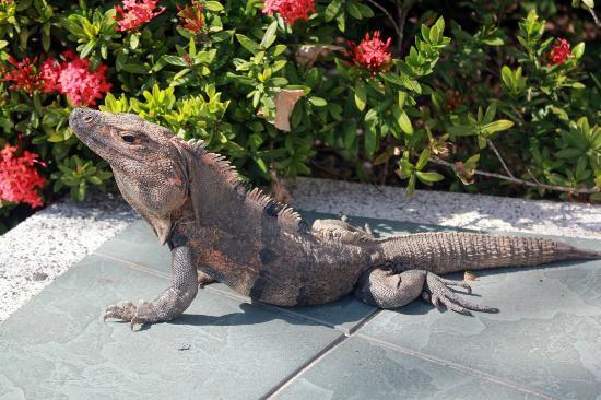 Occidental Tamarindo: iguana afuera del restaurant