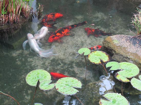Windemere Inn by the Sea: Koi Pond in Windemere's courtyard