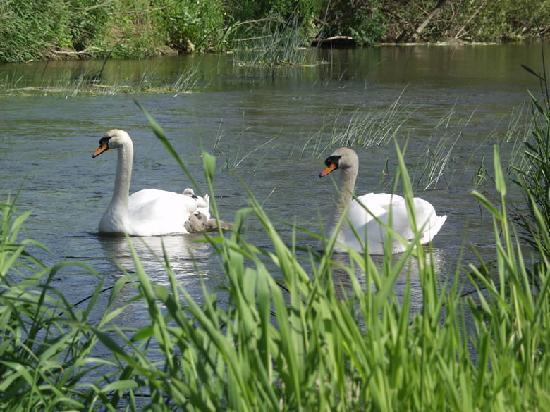Barn Cottages at Lacock: Swans at Reybridge