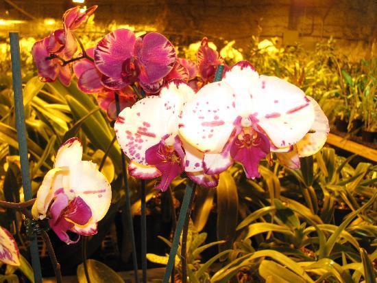 Bird's Botanicals: Still more orchids.