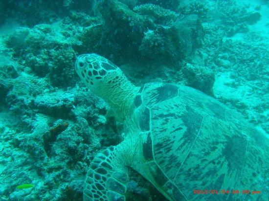 シパダン カパライ リゾート, ウミガメが沢山見れます