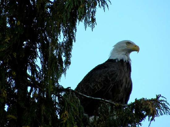 Salmon Falls Resort: Mr. Eagle wants our fish