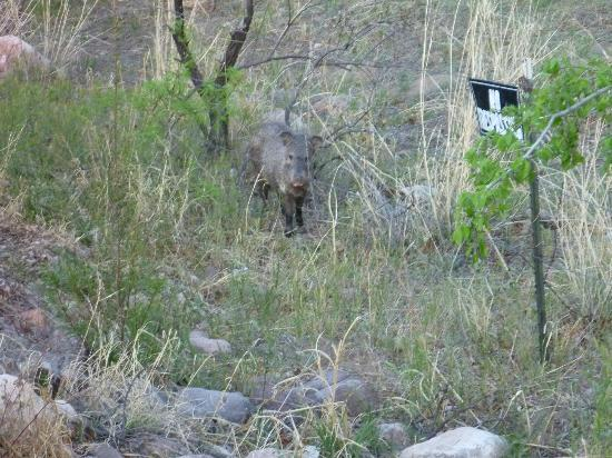 Portal Peak Lodge: Javelina Greeting Us on Our Drive into Portal Near Parking Lot