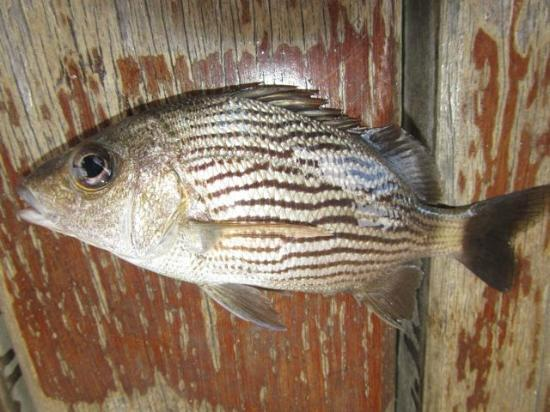 Bahia Del Sol: Fish caught off the dock