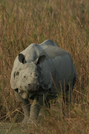 Diphlu River Lodge: Rhino