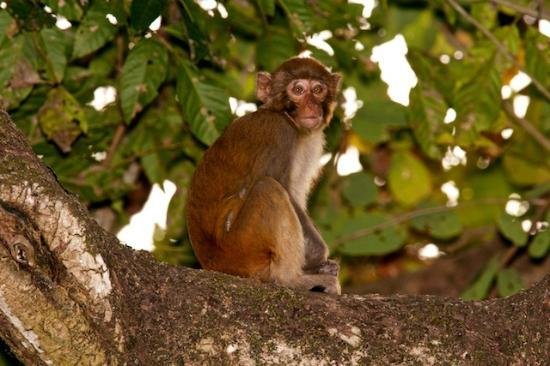 Diphlu River Lodge: Monkey