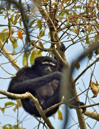 Diphlu River Lodge: Lucky to see a gibbon