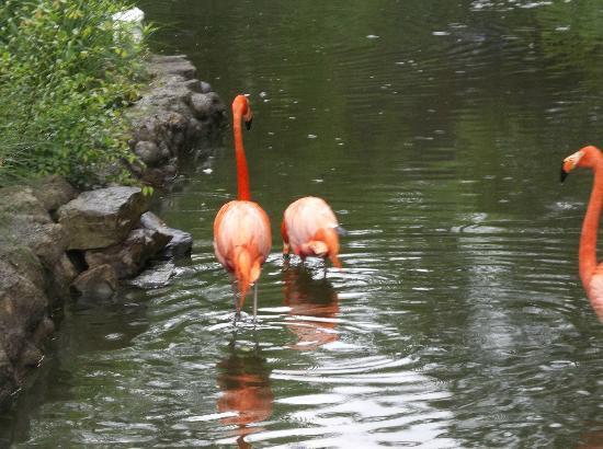 Birmingham Zoo: flamingo