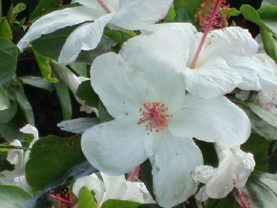 Maui Eldorado: Hibiscus plant at the property