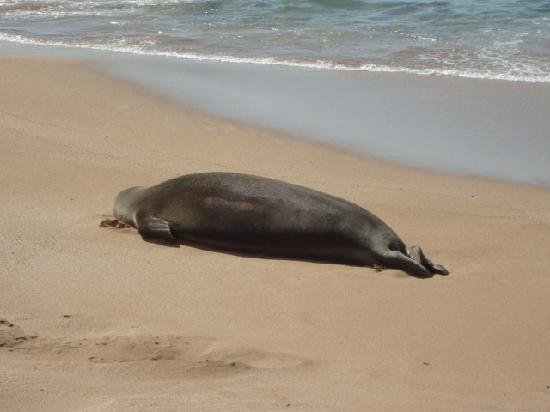 Maui Eldorado: Hawaiian Monk Seal near the cabana