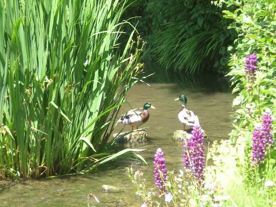 Chambre d' hôtes de charme Le Moulin Saint Nicol : les canards sauvages au Moulin