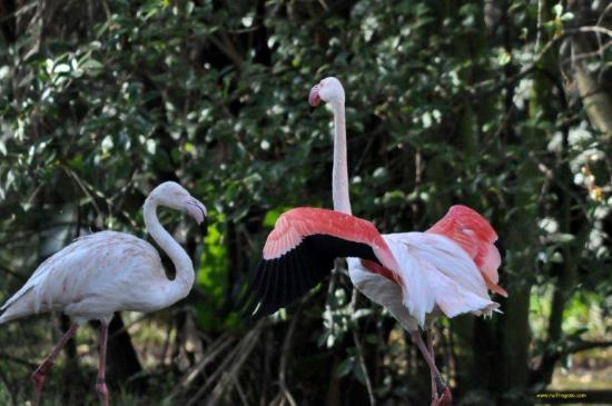 Johannesburg Zoo: Greater Flamingos relaxing
