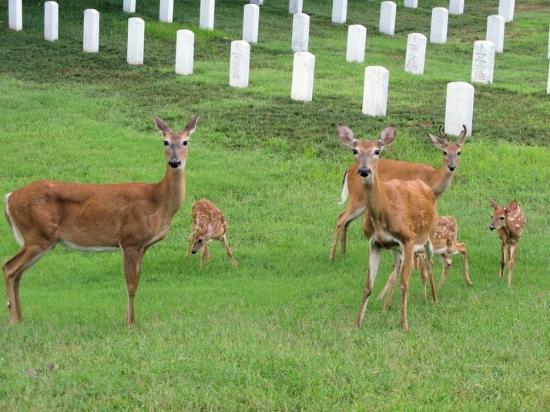 Jefferson Barracks Historic Park : Family of deer at Jefferson Barracks
