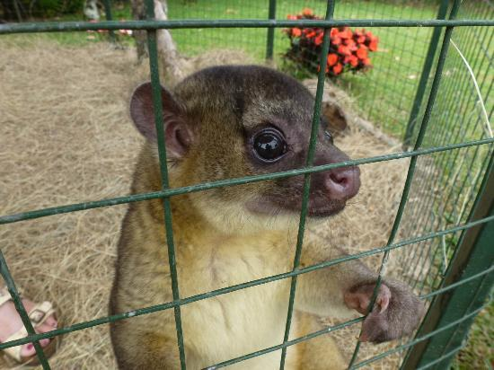 Toucan Rescue Ranch: A cute little Kinkajou