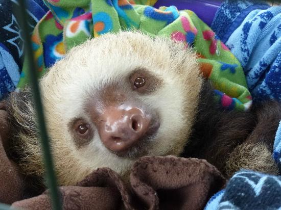 Toucan Rescue Ranch: Baby two toed sloth