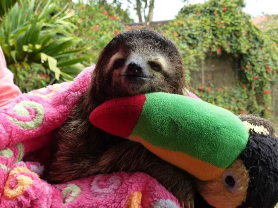 Toucan Rescue Ranch: A baby 3 toed sloth