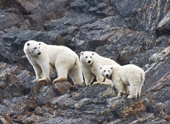 Nunavut, Καναδάς: Polar Bear mother