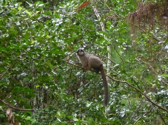 Andasibe-Mantadia National Park  (Reserve of Perinet): Common Brown Lemur