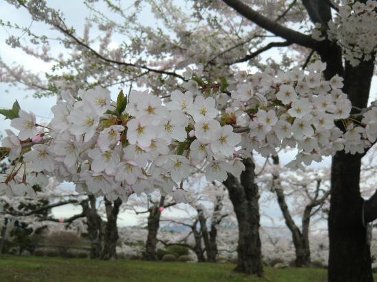 Goryokaku Park: Cherry blossom in early May