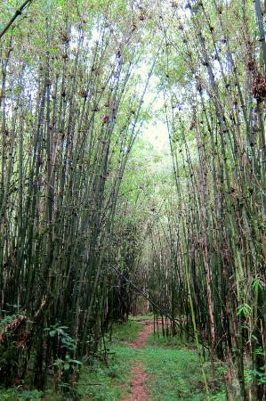 Mgahinga Gorilla National Park: Entering the bamboo zone