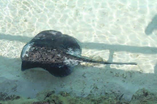 Makunudu Island: 在码头附近看到的鳐鱼