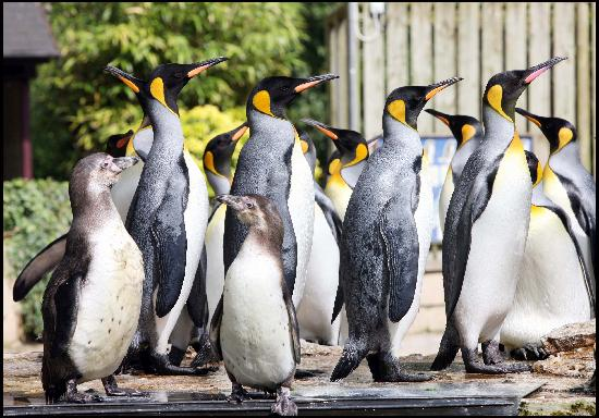 Bourton-on-the-Water, UK: The only King penguins in the UK