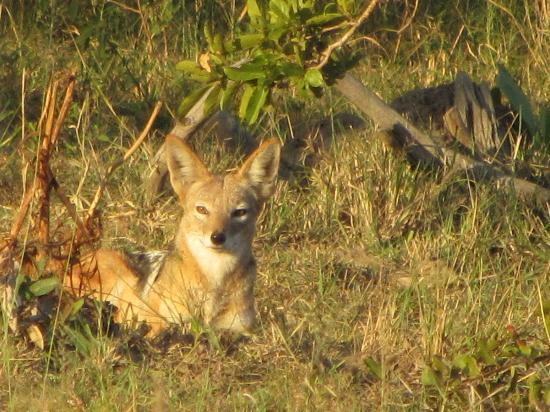 Pungwe Bush Camp: Jackal