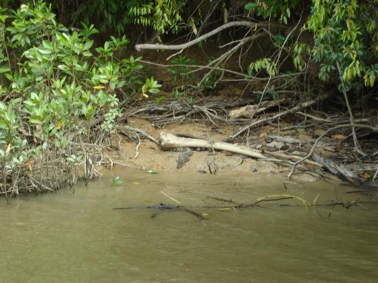 Cape Tribulation Wilderness Cruises : Croc on river bank